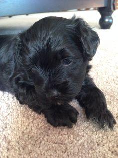 Yorkie Poo Puppy....I want him!!!!!