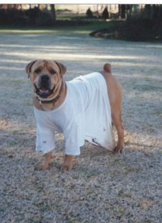 """my beloved boerboel,Rupert,in his """"too sexy for my shirt"""""""
