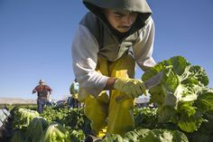 Indigenous Immigrants Harvest Lettuce in Coachella Valley