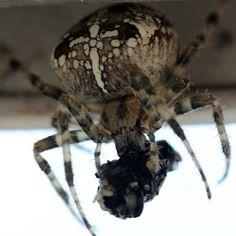 Araneus Diadematus (Epeire Diadème) femelle, blanche et noire planquée dans la porte fenêtre de la véranda, en train de manger une mouche
