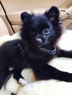 Black Pomeranian cute puppy teddy bear face <3