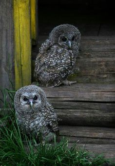 They look like Great Grey Owlettes