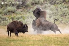 Bison during the rut : Photo by Sandty Sisti Native American Animals, African Animals, American Bison, Buffalo Bulls, Buffalo Art, Nature Animals, Animals And Pets, Cute Animals, Buffalo Pictures