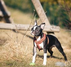 Boston terrier, Balder