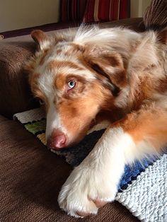 One tired aussie English Shepherd, Aussie Shepherd, Australian Shepherd Puppies, Aussie Puppies, Dogs And Puppies, Australian Shepherds, Doggies, Cute Dogs Breeds, Best Dog Breeds