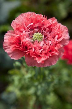 Friday Favorite: Peony Poppies