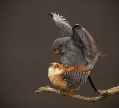 Red-Footed Falcons Mating, Hortobágy National Park in Hungary, by David Morton