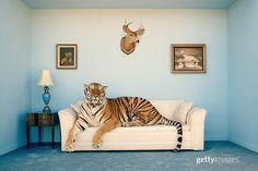 I'm not gonna lie...It's been hard to motivate today : Matthias Clamer⠀  .⠀  .⠀  .⠀  .⠀  .⠀  #bluemonday #tiger #animalphotography #animalsofinstagram #housepet