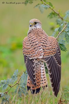 F~Lesser Kestrel (Falco naumanni) is a small falcon. by SanthoshGujar All Birds, Birds Of Prey, Love Birds, Pretty Birds, Beautiful Birds, Animals Beautiful, Types Of Eagles, Colorful Birds, Raptors