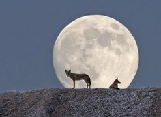The moon and coyotes.