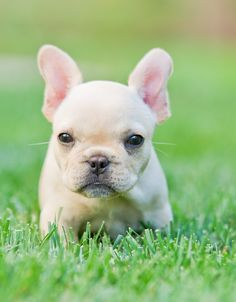 A French Bulldog Puppy -