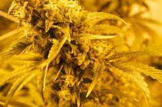 Schon gewusst? Der neuesten Stand der Wissenschaft hat neue Erkenntnise offen gelegt. Wenn du Cannabis Konsument bist, sollte du Wissen das du eventuell..