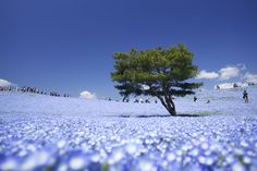 Featured images by Kobaken via Flickr – Hitachi Seaside Park, Japan. I hand-picked 7 inspiring landscape photographs to show you the unexpected beauty of earth. These surreal places may seem like photoshopped pictures, but they are real destinations that you might... #landscape #nature #scenery