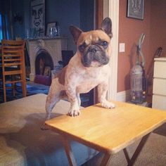 Niño is ready for his dinner, French Bulldog @bonjournino.tumblr.com
