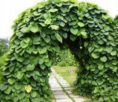 kokornak wielkolistny - Szukaj w Google Flora, Herbs, Plants, Google, Steampunk, Herb, Plant, Planets, Medicinal Plants