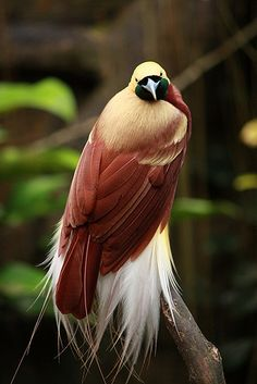 Bird of Paradise bird. Lesser bird of paradise bird bird bird. Rare Birds, Exotic Birds, Colorful Birds, Most Beautiful Birds, Pretty Birds, Beautiful Creatures, Animals Beautiful, World Birds, Kinds Of Birds