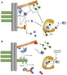 Evolution and Function of the Mitotic Checkpoint Cell Cycle, Scaffolding, Evolution, Protein, Blood, Staging