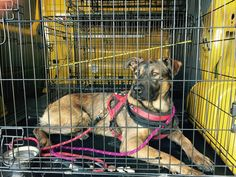 Trooper, German Shepherd Cross Lost by Dog Minder we Recovered him one Week later hiding in Local Woodland