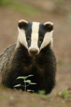 "pagewoman: "" Badger    by Phil Gould """