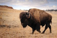 Custer State Park is home to more than 1,300 free roaming bison, elk, big horn sheep, mountain goats, pronghorn antelope along with white-tail and mule deer.