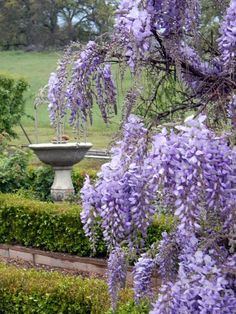 Wisteria blooming, grass is green. snow in the foothills- So which is it- Spring or Winter? Wisteria Garden, Purple Wisteria, Amazing Gardens, Beautiful Gardens, Lilac Bushes, Zinnias, Lilacs, Pink Tulips, All Things Purple