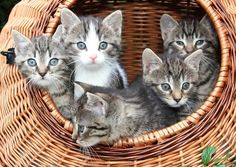 Tabby Cats Cute and adorable and grey tabby kittens in a basket Poster - Poster. Additional sizes are available. Cute and adorable and grey tabby kittens in a basket. Great for cat, pet, animal lovers! Cute Kittens, Grey Tabby Kittens, Cutest Kittens Ever, Little Kittens, Cats And Kittens, Bengal Cats, Cute Animals With Funny Captions, Cute Animals Puppies, Cute Baby Animals