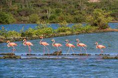 Flamingos at Jan Kok, Curacao ✯ ωнιмѕу ѕαη∂у