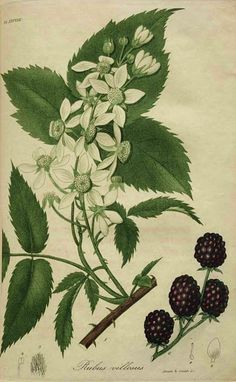 Rubus villosus by Jacob Bigelow - American Medical Botany - Boston 1817 Botanical Flowers, Botanical Prints, Botanical Gardens, Floral Prints, Illustration Botanique, Plant Illustration, Vintage Prints, Dame Nature, Plant Drawing