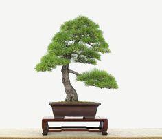 zierquitte - chaenomeles als bonsai-baum | bonsai bäume, Best garten ideen