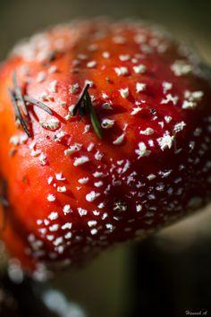 Amanita muscaria (Fliegenpilz) - Stadelstein Plant Fungus, Fungi, Strawberry, Fruit, Vegetables, Plants, Food, Mushrooms, Strawberries