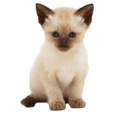 animal page, baby chocolate point siamese kitten