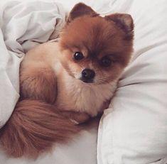 Pomeranian   PetSync