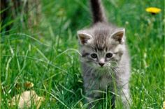 Cute Cats and Dogs – Photos and Videos Cute Baby Cats, Cute Cats And Dogs, Kittens Cutest, Animals And Pets, Cats And Kittens, Cute Animals, Kitty Cats, Cute Black Kitten, Grey Kitten