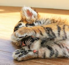 No photos please! The tiger cub appears to be rather camera shy here as it covers its face while lying on the floor