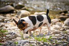 Shame Boston Terrier, Goats, Animals, Dogs, Boston Terriers, Animales, Animaux, Animal Memes, Animal