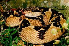 Surucucu pico de jaca (Lachesis muta) The Venom, Pit Viper, Beautiful Snakes, Planting Roses, Mundo Animal, Pictures, Tattoo, Youtube, Horses