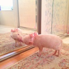 priscilla the famous mini pig 19 pics 19 Cute Baby Pigs, Cute Piglets, Cute Baby Animals, Animals And Pets, Funny Animals, Cute Babies, Teacup Pigs, Mini Pigs, Pet Pigs