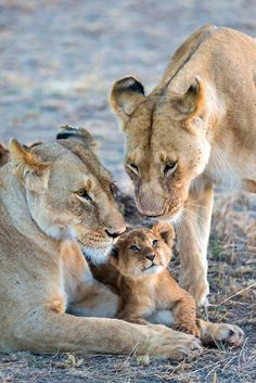 A two month-old lion cub looks up at two lionesses. Lionesses raise their cubs communally and cubs suckle indiscriminately from any lactating female. Cute Baby Animals, Animals And Pets, Funny Animals, Big Cats, Cats And Kittens, Cute Cats, Beautiful Lion, Animals Beautiful, Gatos Cat