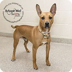 URGENT!  I am at a kill shelter in Troy, OH - Pit Bull Terrier Mix. Meet Bean, a dog for adoption. http://www.adoptapet.com/pet/11318893-troy-ohio-pit-bull-terrier-mix