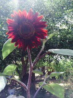 My first red sunflower