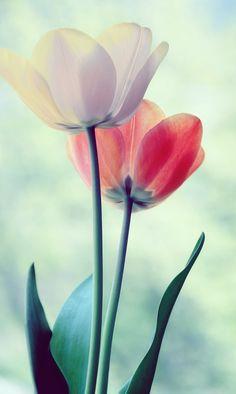 ~~2 tulips by Snezana Popovic~~