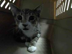 NYC **5 Months Old** TO BE DESTROYED Sunday Aug.17'14 BARON came in with Group/Litter #K14-189155.. STRAYS ID # A1009618. Male brn tabby and white about 5 MONTHS old. Scared at this Facility but would do well in a Cat Experienced home  https://www.facebook.com/nycurgentcats/photos/a.845866555431333.1073742401.220724831278845/845866908764631/?type=3&theater