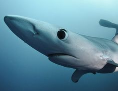 Prionace glauca,  Blue Shark / Tintorera  STOP EATING SHARK'S FIN SOUP