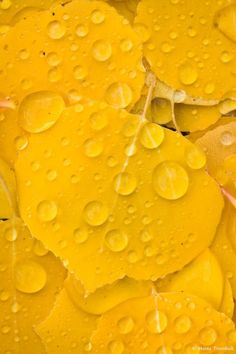 """chasingrainbowsforever: """"Golden Aspen leaf Collage with Raindrops"""". Fine Art Photography by Monte Trumbull on Mellow Yellow, Orange Yellow, Color Yellow, Yellow Theme, Golden Yellow, Bright Yellow, Aspen Leaf, Aspen Trees, Jaune Orange"""