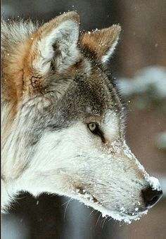 Wolf Wolf Photos, Wolf Pictures, Animal Pictures, Beautiful Creatures, Animals Beautiful, Cute Animals, Wild Animals, Coyotes, Japanese Wolf