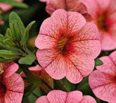 Petunia calibrachoa cabaret mango tango petunia supertunia vista ...
