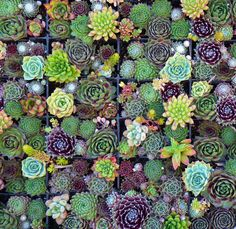 Succulent Squares (Succulent design by Robin Stockwell of Succulent Gardens)
