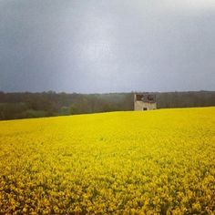Normandy abounds with these beautiful yellow fields. They make canola oil from these plants.