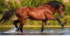 Beautiful Salt River wild horse stallion enjoying the river