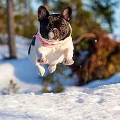 Lahja the French Bulldog flies over the snow. photo: Mikko Lönnberg #frenchbulldog #frenchie